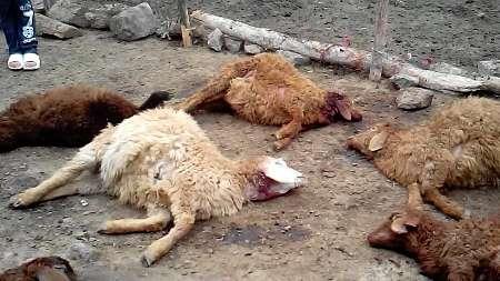 تلف شدن ۱۱ راس گوسفند براثر صاعقه در کامیاران