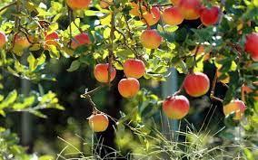 افزایش ۲۰ هزار تنی تولید محصولات باغی در کردستان
