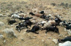 تلف شدن یک گله گوسفند بر اثر تصادف در بیجار